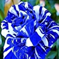 super1798 30Pcs Rare Rose Flower Seeds Garden Decor Perennial Balcony Plant - Blue