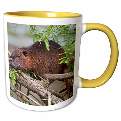 3dRose Danita Delimont - Wildlife - Nutria wildlife sunning in bald cypress, Texas, USA - US44 LDI0598 - Larry Ditto - 11oz Two-Tone Yellow Mug - Outlet Texas Cypress