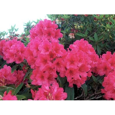 Rhododendron Cary Ann #2 Container Size Plant - Bright Pink Blooms : Garden & Outdoor