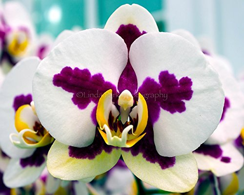 White and Magenta Phalaenopsis Orchid Photograph - 11x14 Size ()