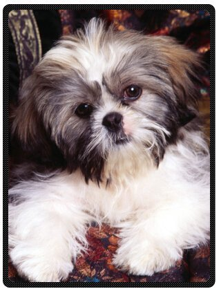 Shih Tzu Fleece (Shih-Tzu Dog Plush Throw Blanket Travel Blanket 58