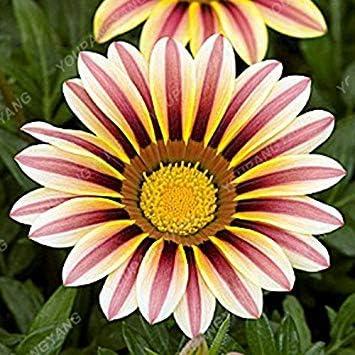 Vistaric 100 Unids/pack Aster Semillas Aster Flor Bonsai Semillas de Flores Rainbow Crisantemo Semillas Flores Perennes Inicio Jardín de Plantas semillas de Crisantemo: Amazon.es: Jardín