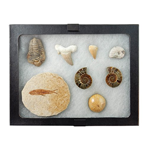 Awesome 8 Pcs Fossil Collection/Set - Shark and Dinosaur ...