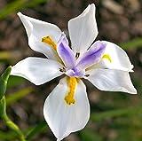 Wild Fairy Iris 10 Seed - Dietes grandiflora -Tropical