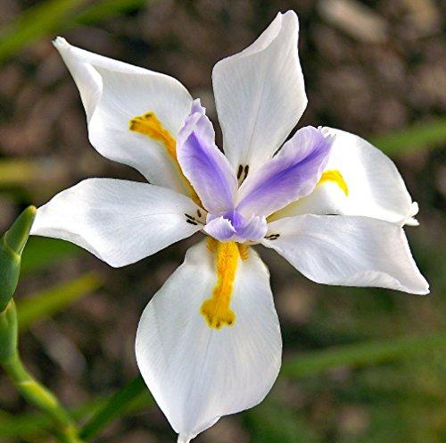 Wild Fairy Iris 10 Seed - Dietes grandiflora -Tropical (La Dieta)