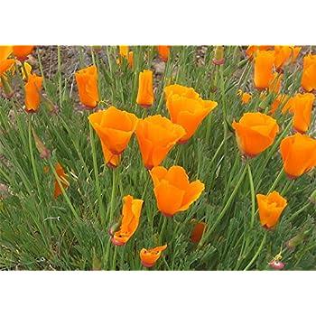 Amazon 1000 orange california poppy eschscholzia californica california poppy seeds 8000 seeds state flower golden orange poppy re seeds mightylinksfo