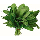 NIKITOVKASeeds - Sorrel Shyrokolystyy - 5000 Seeds - Organically Grown - NON GMO