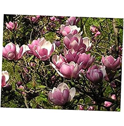 Amazoncom Seeds 5 Saucer Magnolia Seeds Lily Flower Tree Fragrant