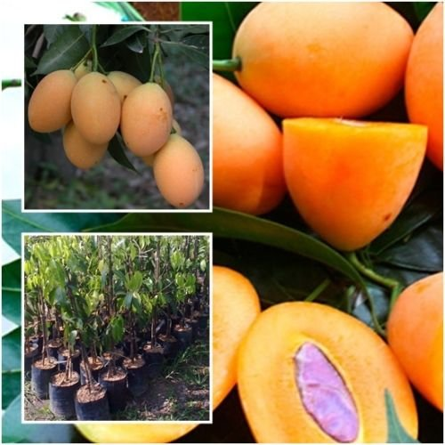 Marian plum, Plum mango Tree Plant Grafted Tall 22'' Fruit Tropical From Thai by seedstogrow