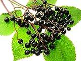 Homegrown Elderberry Seeds, 30, Organic Elderberry