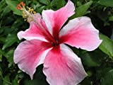 TAHITIAN MAID Tropical Heirloom Hibiscus Live Plant Delicate Pink White Pinwheel Flower Starter Size 4 Inch Pot Emeralds Tm