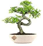 Abana Homes Chinese Elm (Ulmus) Bonsai Plants Real for Home with Pot