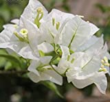 Solution Seeds Farm Rare Heirloom White Bougainvillea Spectabilis Willd Bonsai Seeds,100 Seeds.