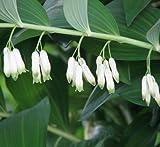 Plant World Seeds - polygonatum multiflorum Seeds