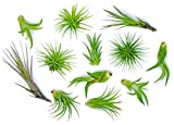 12 Air Plant Variety Pack - Small Tillan...