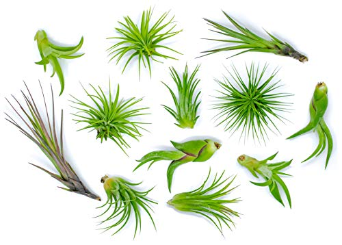 12 Air Plant Variety Pack - Small Tillandsia Terrarium Kit - Assorted Species of Live Tillandsia Tropical House Plants for Sale, 2 to 5 Inches Each - Air Plants for Indoor Home Decor ()
