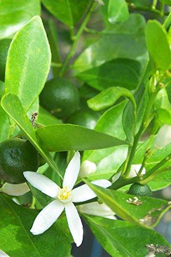 Glen Navel Orange Tree, Seedless Citrus (Excludes: CA,TX,LA,AZ)