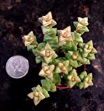 "CRASSULA COMMUTATA, CRASSULA RUPESTRIS 'BABY NECKLACE' - 3/4"" SUCCULENT POT"