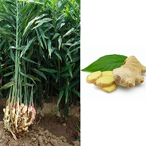 LOadSEcr's Garden Ginger Turmeric Seeds Perennial Vegetables Non-GMO Ornamental Plants Yard Office Decoration, Open Pollinated Seeds