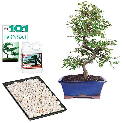 Brussel's Bonsai Live Chinese Elm Outdoor Bonsai Tree-8 Years Old 8