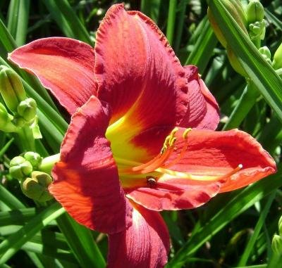 Classy Groundcovers - Hemerocallis 'Ruby Stella' (Daylily 'Ruby Stella') {25 Bare Root - Daylily Ruby