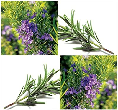 100 ROSEMARY Seeds - ALL PURPOSE SEASONING FOR MEAT & SAUCES ~ Perennial Herb ~