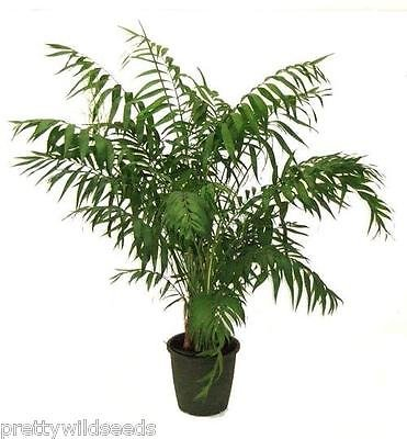 Chamaedorea elegans - The Parlour Palm PARLOR HOUSE PLANT 50 SEEDS PWS UK