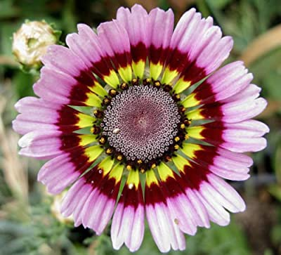 Daisy, Painted Tricolor Tri Color, 240 Seeds! Groco*