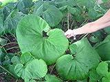 40 - 50 GIANT BUTTERBUR SEEDS ( Petasites vulgaris )