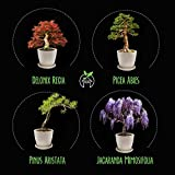 HOME GROWN Bonsai Tree Kit. Bonsai Tree Starter Kit