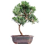 Brussel's Podocarpus Micro Phyllus Bonsai – Medium – (Outdoor) Review