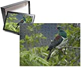 Photo Jigsaw Puzzle of New Zealand Pigeon - sitting in a tree about to feed on berries