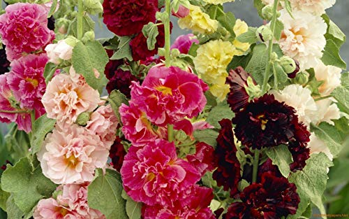 - Seeds Hollyhock Mallow Major Mix Stock Rose Giant Large Flower Annual Garden Cut Organic Ukraine