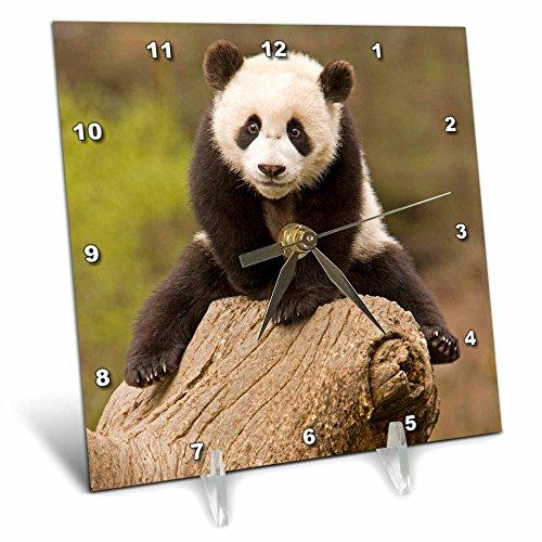 3dRose dc_70238_1 China, Wolong Panda Reserve, Baby Panda Bear on Stump-AS07 AGA0001-Alice Garland-Desk Clock, 6 by ()
