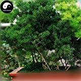 Shopmeeko Buy Asparagus Myriocladus Cypress Tree Semente 120pcs Plant Peng Lai Song