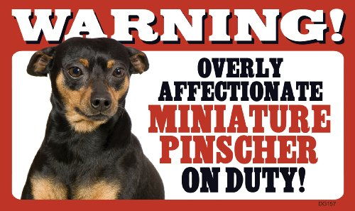 Warning Overly Affectionate Miniature Pinscher On Duty (Pinscher Miniature Terrier)