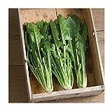David's Garden Seeds Chicory Clio Italian Dandelion SL2634 (Green) 200 Non-GMO, Hybrid Seeds