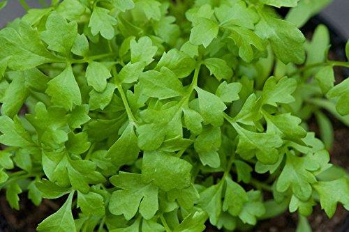Pepper Cress Seeds (Lepidium sativum) (10 Lb or 3.2 Million Seeds)