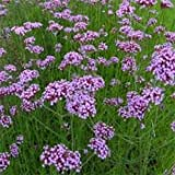 Outsidepride Verbena Purpletop Vervain - 5000 Seeds