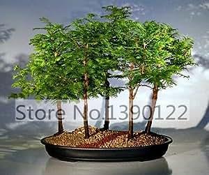 30 / bolsa de la secoya de amanecer del bosque semillas Semillas Bonsai SeedsTree secoya de amanecer Bosque Bonsai - Metasequoia glyptostroboides