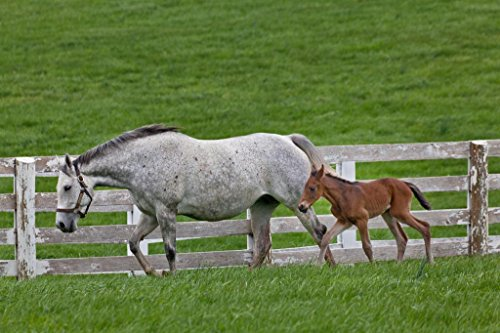 Female Thoroughbred and Young Foal Photo Art Print Mural Giant Poster 54x36 inch