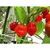 HOT CHILLI PEPPER - JAMAICAN RED - 60 FINEST SEEDS - ORGANIC