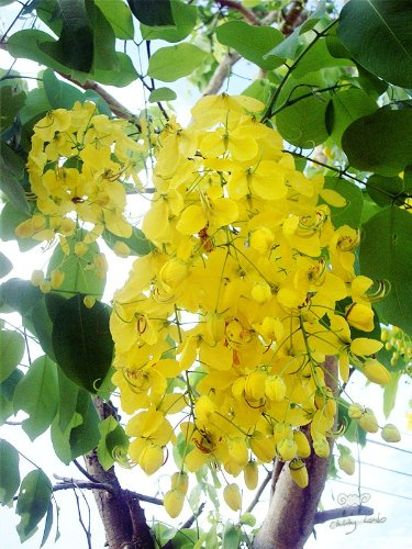 Amazon 15 golden shower tree gold rush yellow cassia fistula amazon 15 golden shower tree gold rush yellow cassia fistula flower seedscomb sh by seedville flowering plants garden outdoor mightylinksfo