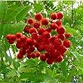 Sorbus Aucuparia European Mountain Ash Tree Seeds #US01