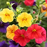 "lavender trumpet vine 200pcs Morning Glory""Crazy Mixture"" (Rainbow Colors) Seeds for Garden Planting, Non-GMO Seeds"