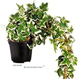 LIVE Plant English Ivy Variegated - by Vamsha Nature Care