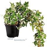 Vamsha Nature Care Live Plant English Ivy Variegated