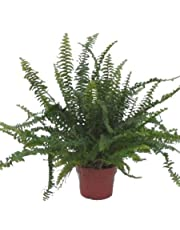 Nephrolepis 'Green Lady' air Purifying Indoor Fern in a 12cm Pot