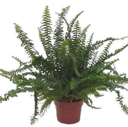 Nephrolepis Green Lady - Helecho purificador de aire para interior ...