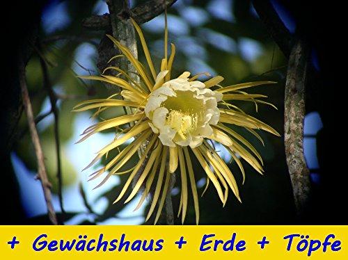 SAFLAX - Anzucht - Set - Kakteen - Königin der Nacht (Selenicerus grandiflorus) - 40 Samen - Mit Gewächshaus, Anzuchtsubstrat und Töpfen